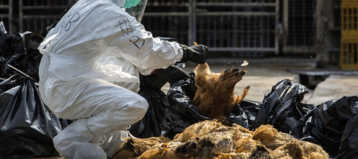Symptoms of Bird Flu that can put your Life at Risk